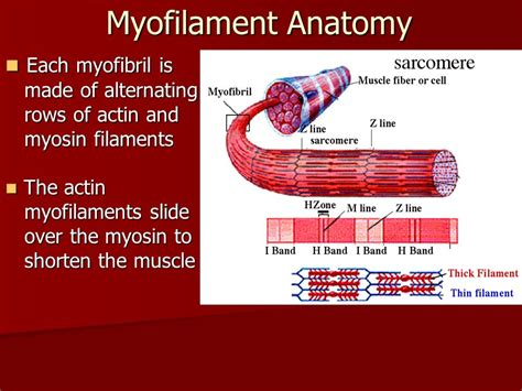 5 proteins of myofilaments the physiology of skeletal contraction ppt