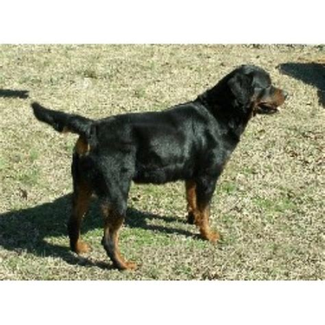 rottweiler carolina rottweiler breeders in carolina freedoglistings
