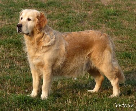 chion golden retriever chien elevage punta verde eleveur de chiens golden retriever