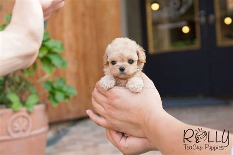 teacup puppies for adoption near me poodle rolly teacup puppies