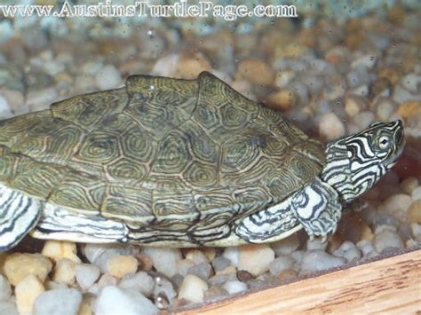texas map turtle care care sheet cagle s map