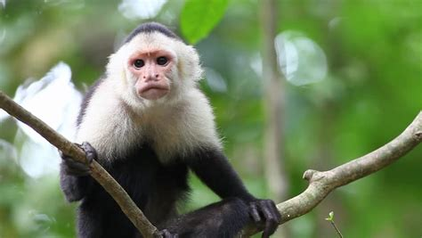 Capuchin Footage | Stock Clips
