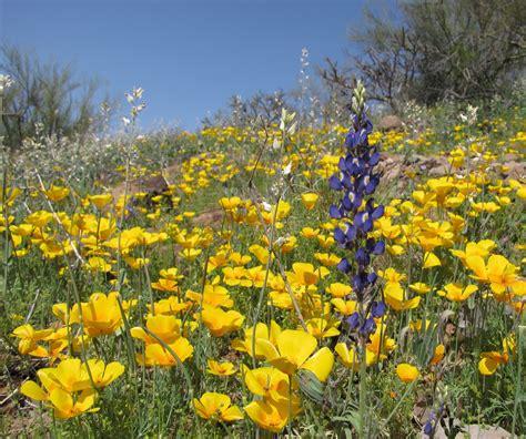 desert flowers list of sonoran desert wildflowers