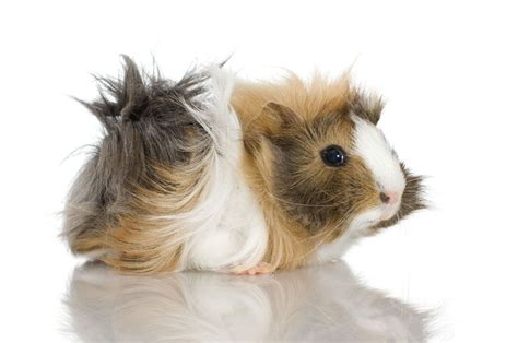 popular guinea pig breeds pets4homes