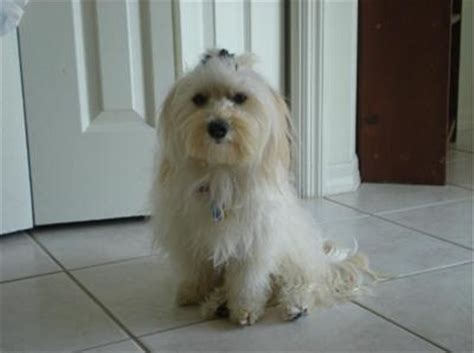 maltese and havanese mix havamalt maltese havanese mix info care puppies and pictures