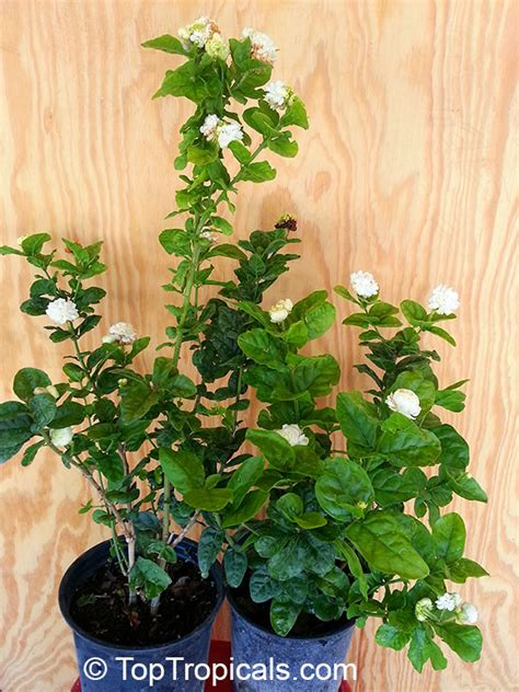 fragrant plants for sale jasminum sambac grand duke of tuscany nyctanthes sambac