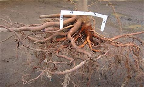 maple tree roots surface lateral root spread roots growth after planting roots landscape plants edward f gilman