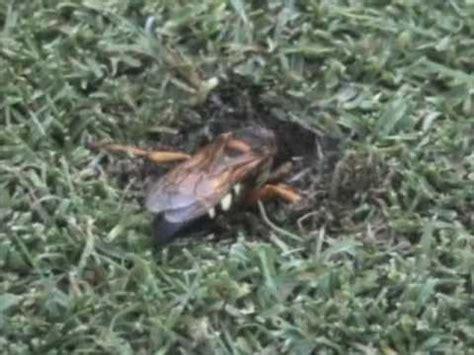 cicada killer wasp prepares  burrow youtube