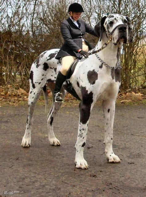 heaviest breed dogs pets great dane tallest in the world pictures