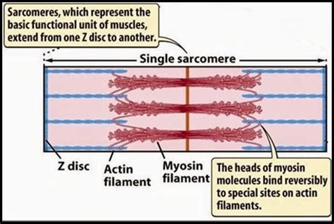 3 proteins found in thin filaments difference between actin and myosin filaments major
