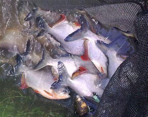 Benih Ikan Bawal Terbaik harga benih ikan bawal bibitikan net