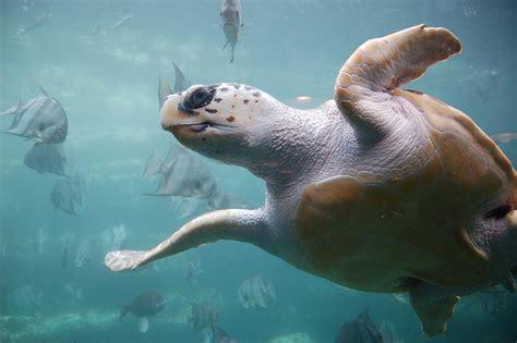 Turtle Sea loggerhead sea turtle
