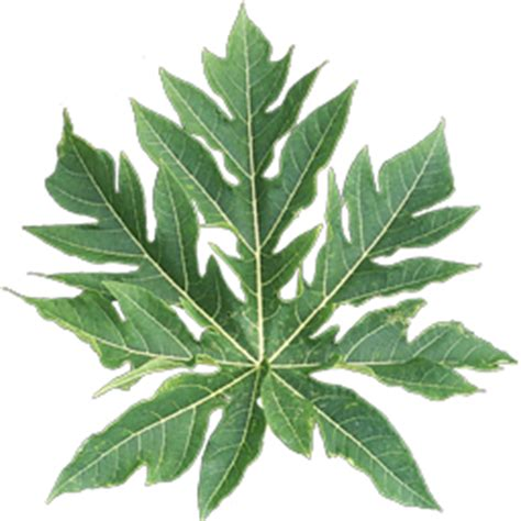 pesticides of extract papaya and neem leaves of exterminating erionata thrax l to25rin