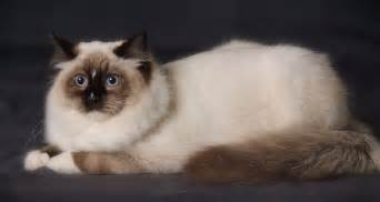 Ragdoll cat information neat pets dogs amp cats