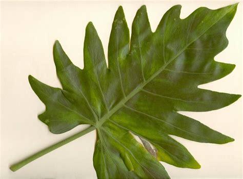 imagenes hojas de sen el rinc 243 n del anacoreta el anacoreta y la hoja