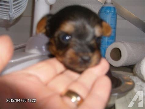 yorkie puppies in panama city florida terrier puppies 4 females 2 males for sale in panama city florida
