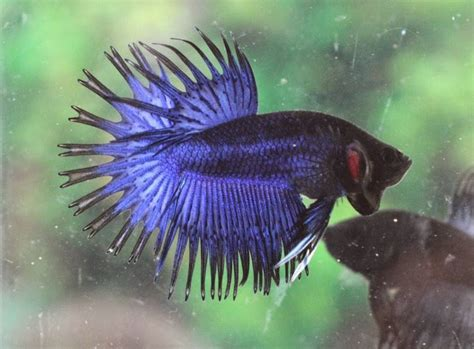 Ikan Cupang Crowntail Royal Blue blue crowntail betta