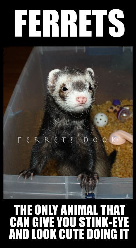 Ferret Meme - this would be our loki she s so naughty her favorite