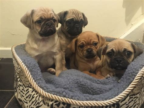 bulldog x pug puppies for sale bulldog x pug puppies bishop auckland county durham pets4homes