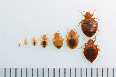 bed bugs first stage bed bugs make an unwelcome comeback an epidemic in long