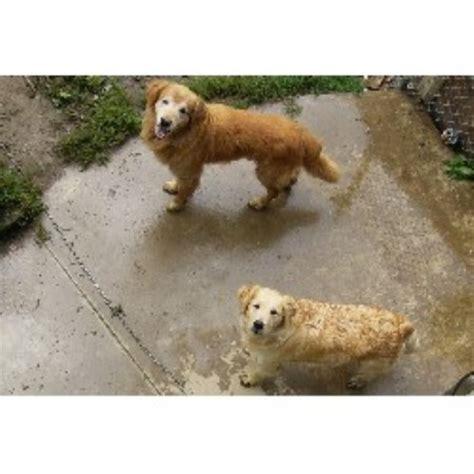 free golden retriever puppies in pa golden retriever breeders in pennsylvania freedoglistings