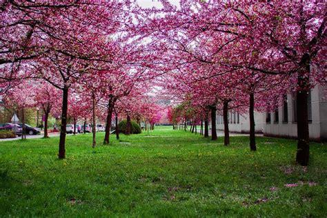plant care  kwanzan cherry tree fastgrowingtreescom