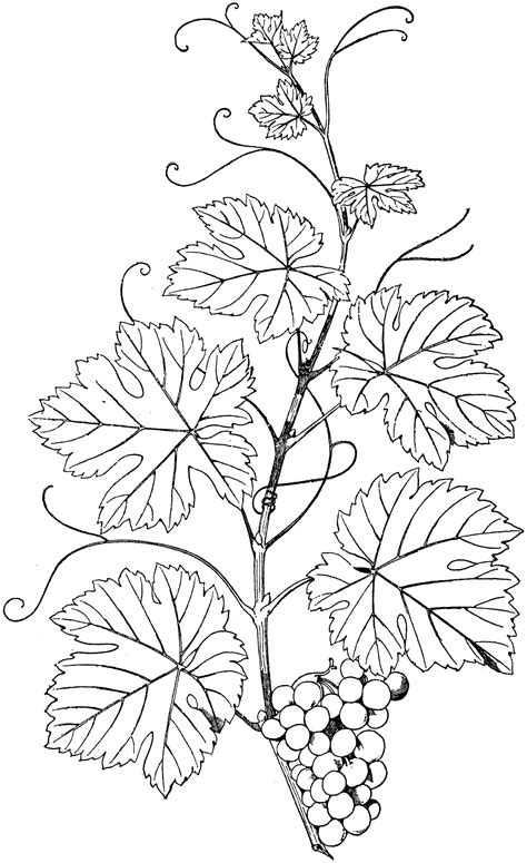 grape leaves coloring pages grape leaves coloring page line drawing of grapes www