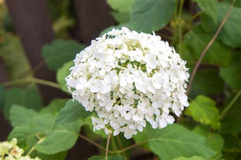 pflege hortensien im garten hortensien im garten pflege hortensien im garten tipps