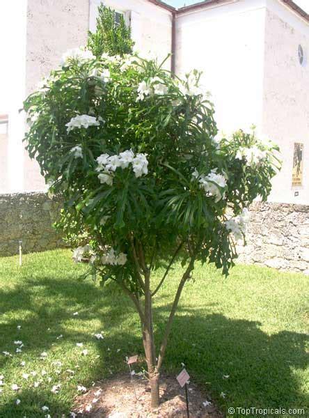 Wedding Bouquet Tree plumeria pudica bridal bouquet toptropicals