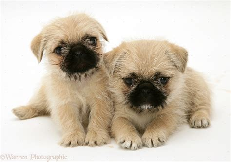 shih tzu or pug pugpugpug is it ethical to buy a puppy pug and what are the best crosses