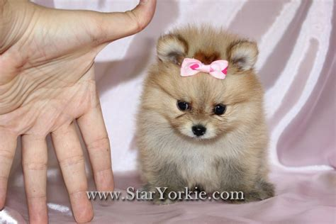 tiny micro teacup pomeranian sale pomeranian puppies for sale los angeles breeds picture