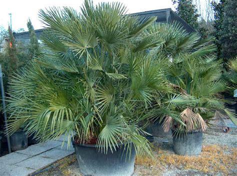 palme da terrazzo piante da vaso chamaerops chamaerops excelsa palma di