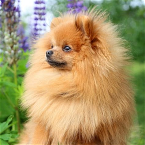 where do pomeranians originate from the pomeranian the happy puppy site