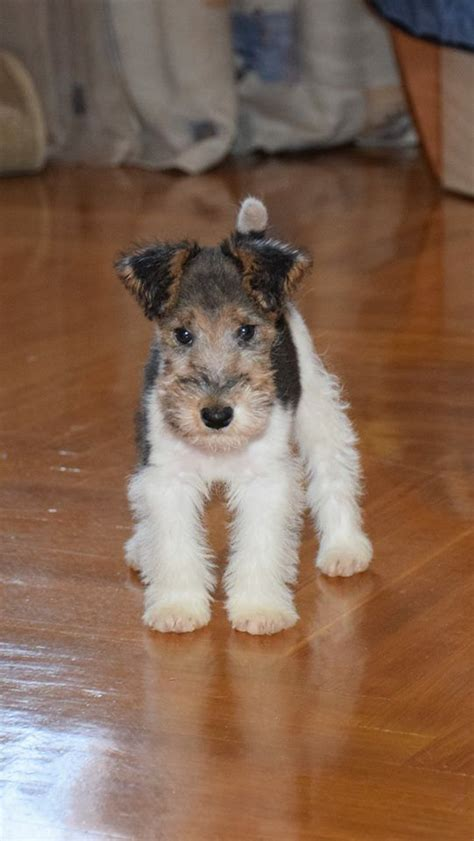 wired puppy buy fox terrier puppies goldenacresdogs