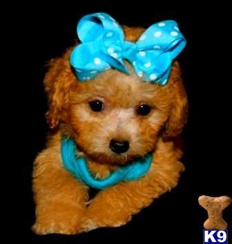 maltipoo puppies for sale in dallas maltipoo puppy for sale golden maltipoo puppies for sale in 6 years