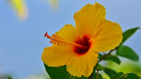 which state has a hibiscus hawaiian state flower www pixshark com images