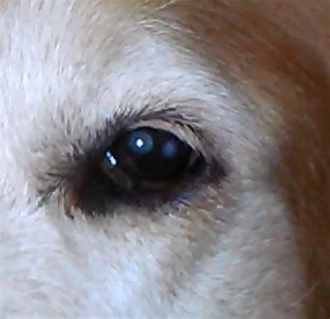 fatty deposits on dogs cholesterol deposits in a s eye