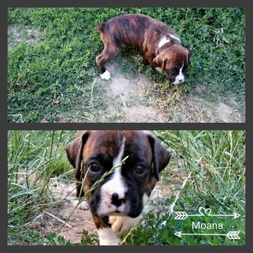 boxer puppies for sale in oregon view ad boxer puppy for sale oregon albany usa