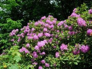 Rhododendron Sonniger Standort by Rhododendron Umpflanzen Vorgehensweise Garten Mix