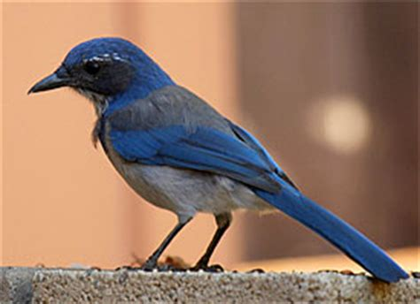 riding the wave multiple myeloma 187 western scrub jay and