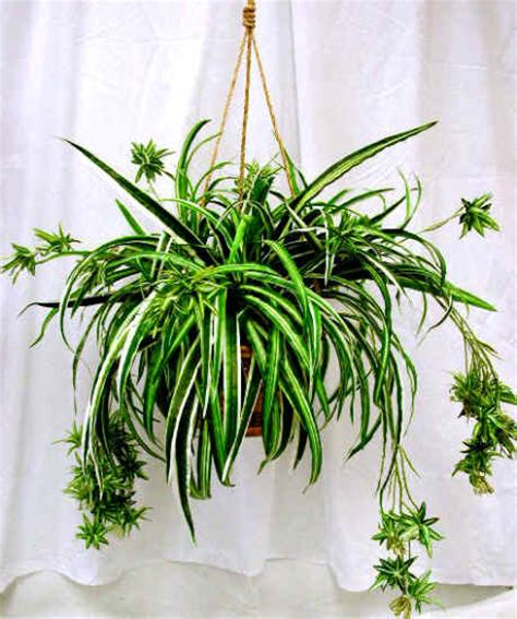spider plant tyler greener living spider plants chlorophytum hard
