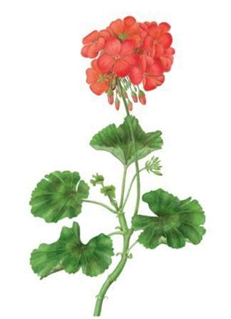 beginner s guide to botanical flower painting books how to draw and paint a pelargonium in watercolour
