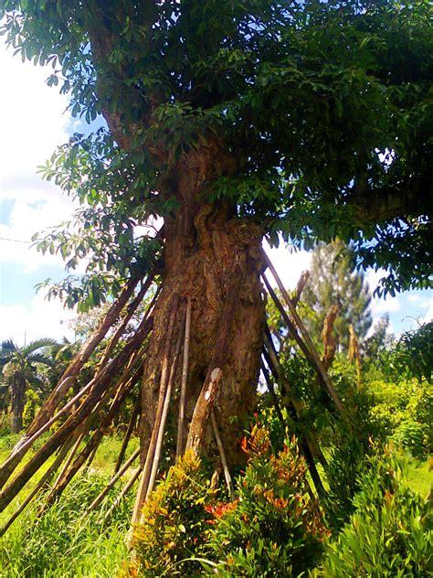Pohon Trembesi Pohon Tabebuya jual pohon pelindung agro sejahtera