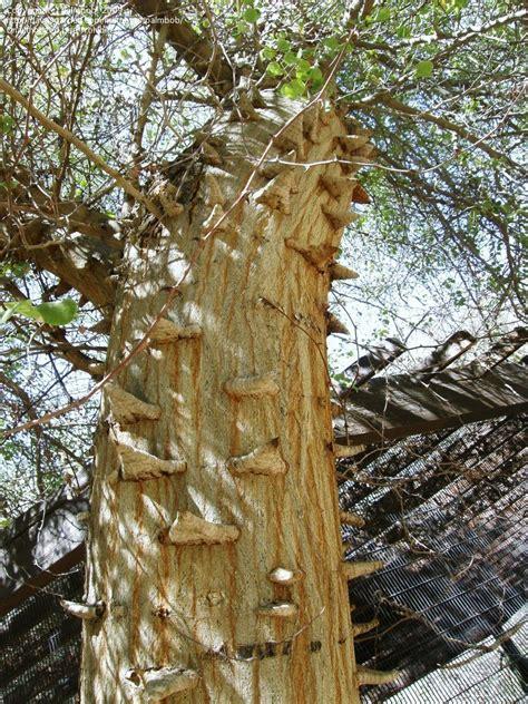 Knob Acacia by Plantfiles Pictures Knob Acacia Acacia Nigrescens
