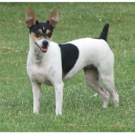 rat terrier puppies for sale in michigan rat terrier breeders in the usa and canada freedoglistings page 2