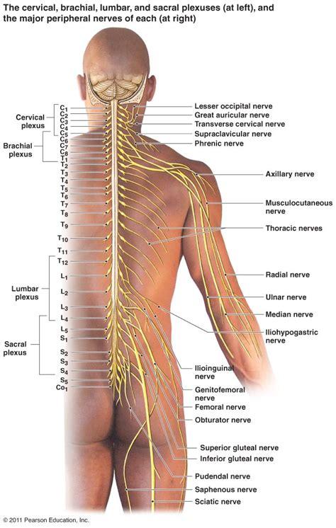 diagram of nerves in back peripheral nervous system