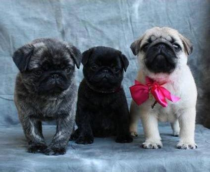 what were pugs bred for pug breed info and facts pets world