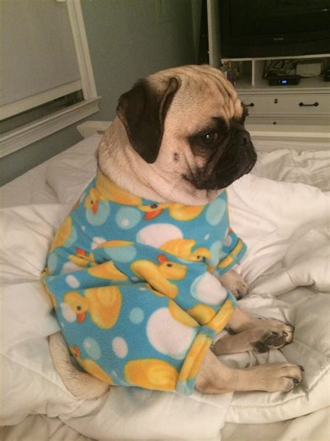 pug pajamas pug in pajamas pug