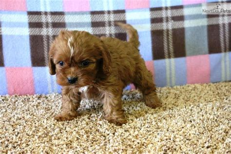 cavapoo puppies for sale florida cavapoo puppy for sale near west palm florida df96bd9c 2b31