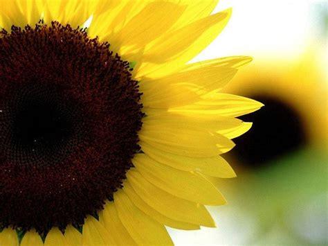 girasole significato dei fiori significato girasole significato fiori significato